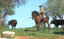 Un vacher à cheval et des taureaux