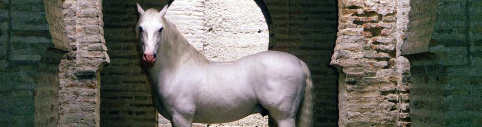 Un cheval de l'école royale andalouse