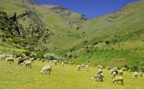 Un troupeau de moutons